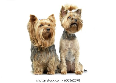 Studio shot of two adorable Yorkshire Terrier sitting on white background.