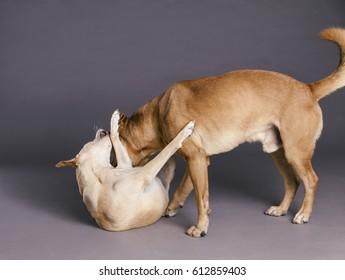 Studio shot of two mixed breed dogs playing with each other on gray background.