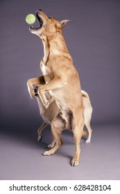 Studio shot of two mixed breed dogs on gray background, one of them mid-jump, just about to catch a tennis ball with its mouth.