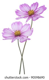 Studio Shot of Violet Colored Cosmos Flowers Isolated on White Background. Large Depth of Field (DOF). Macro.