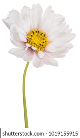 Studio Shot of White Colored Cosmos Flower Isolated on White Background. Large Depth of Field (DOF). Macro.