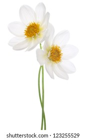 Studio Shot of White Colored Dahlia Flowers Isolated on White Background. Large Depth of Field (DOF). Macro. Symbol of Elegance, Dignity and Good Taste.