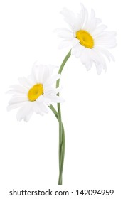 Studio Shot of White Colored Daisy Flowers Isolated on White Background. Large Depth of Field (DOF). Macro. National Flower of Latvia.