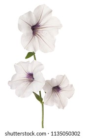 Studio Shot of White Colored Petunia Flowers Isolated on White Background. Large Depth of Field (DOF). Macro.