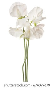 Studio Shot of White Colored Sweet Pea Flowers Isolated on White Background. Large Depth of Field (DOF). Macro.