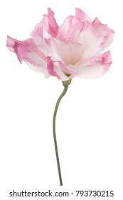 Studio Shot of White and Pink Colored Eustoma Flower Isolated on White Background. Large Depth of Field (DOF). Macro.