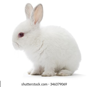 Studio shot of a white rabbit isolated on white background.
