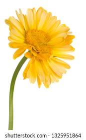 Studio Shot of Yellow Colored Calendula Flower Isolated on White Background. Large Depth of Field (DOF). Macro.