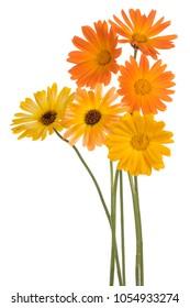 Studio Shot of Yellow and Orange Colored Calendula Flowers Isolated on White Background. Large Depth of Field (DOF). Macro.