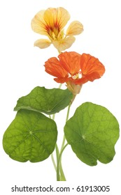 Studio Shot of Yellow and Orange Colored Nasturtiums Isolated on White Background. Large Depth of Field (DOF). Macro. Symbol of Patriotism and Conquest.