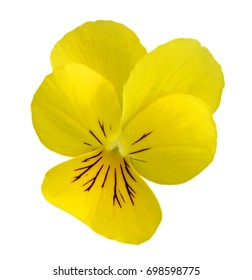 Studio Shot of yellow and White Colored Pansy Isolated on White Background.