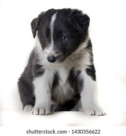 Studio shot of Young Border Collie sheepdog, adorable dog portrait isolated on white background