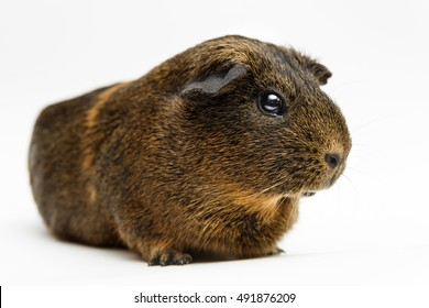 Studio style photograph of a pet guinea pig against a white background.