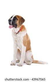 A studio view of a large, brown and white St. Bernard dog isolated on a white background