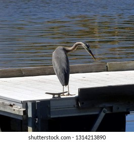 Studious and alert great blue heron on a floating dock; Green Valley Park in Payson, Arizona