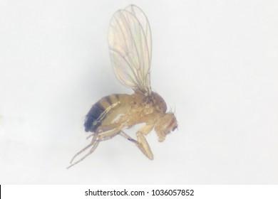 Study genetic of Drosophila melanogaster (fruit fly, vinegar fly) for education in laboratory. (soft focus under the Stereo microscope)