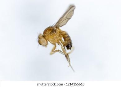 Study genetic of Drosophila melanogaster (fruit fly, vinegar fly) for education in laboratory.