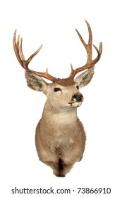 "a stuffed ""black tail"" deer also known as a ""mule deer"" isolated on white with room for your text"