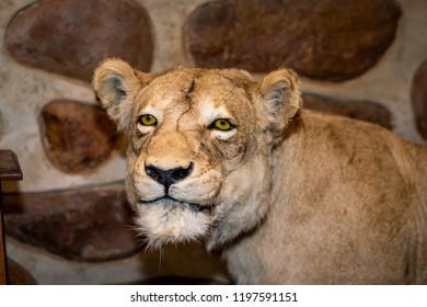 Stuffed female lioness