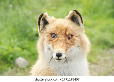 stuffed fox with artificial eyes and natural fur, portrait, taxidermy, hunting