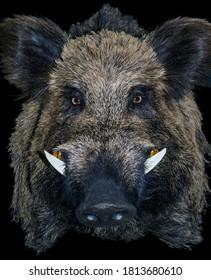 Stuffed wild boar Head taxidermy animal in black background.
