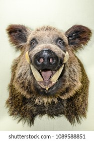 Stuffed wild boar's head with a grinning mouth
