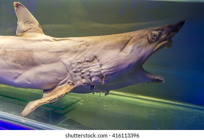 Stuffed young shark with big teeth and opened mouth isolated on aquarium