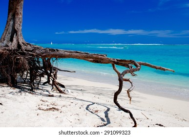 Stump with aerial roots - Mauritius