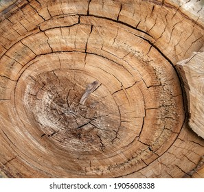 Stump of a cut tree from which a short stump with a popnorny cut remains