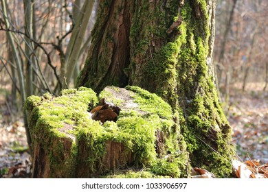 The stump of a felled tree with moss.