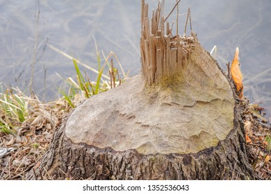 Stump of a forest tree nibbled by beavers at the lake with grass close-up