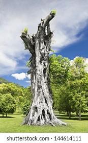 Stump of the giant banyan tree