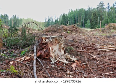 A stump on the edge of the forest after the felling of trees.