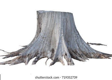 Stump pine root dead tree isolated on white background. This has clipping path.