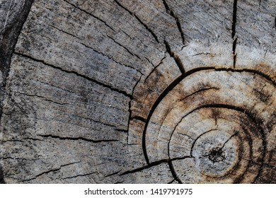Stump of tree felled, section of the trunk. Background from the stump of a felled tree