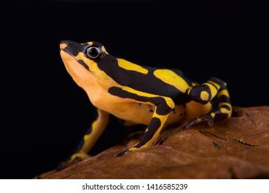 Stumpfoot toad (Atelopus hoogmoedi) is an highly endangered amphibian species.