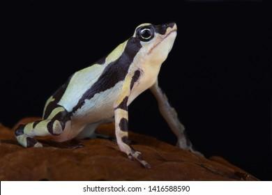 The Stumpfoot toad (Atelopus hoogmoedi) is a highly endangered amphibian species.