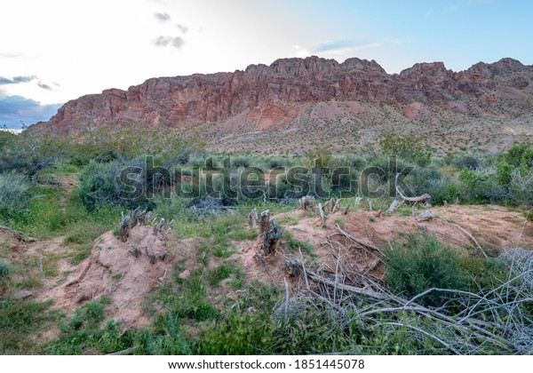 Stumps left from hand thinning Tamarisk trees that were cut with saws and sprayed with herbicide. This non-native, invasive plant is listed as a noxious weed in many states.