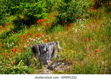 Stumps of trees shattered in the 1980 eruption surrounded by wildflowers, Mt St Helens Volcanic National Monument, Washington
