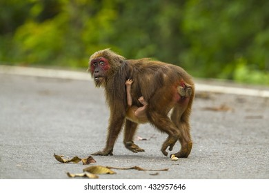 Stump-tailed macaque across the street in the nature.