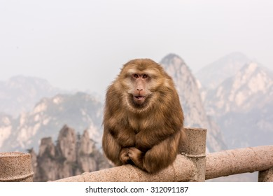 Stump-tailed Monkey at Mt.Huangshan-Chaina