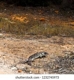 Stumpy Lizzard in the Desert