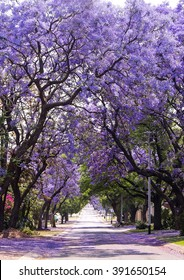 Stunning alley with beautiful purple vibrant jacaranda in bloom. Tenderness. Romantic style. Spring in South Africa. Pretoria. Artistic retouching. Ideal background for greeting card.