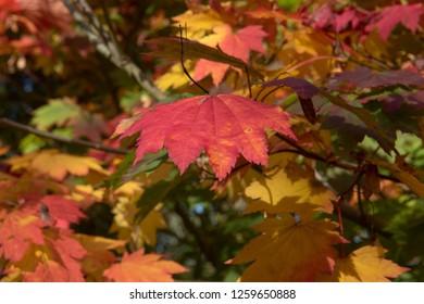 Acer Japonicum Images Stock Photos Vectors Shutterstock