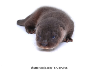 Stunning baby river Otter isolated on white