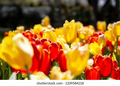 Stunning back-lighted yellow spring tulip standing taller than the surrounding tulips in a mixed bed of yellow and red tulips