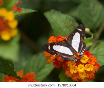 A stunning Banner Metalmark butterfly perched on some orange Lantana flowers in San Jose, Costa Rica.