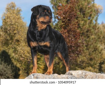 stunning, beautiful female rottweiler posed on a marble boulder