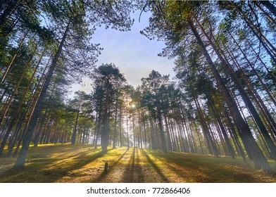 Stunning beauty of pine forest. Zlatibor, Serbia.