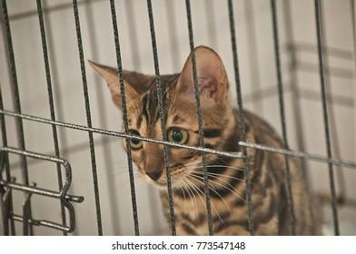 Stunning Bengal Cat